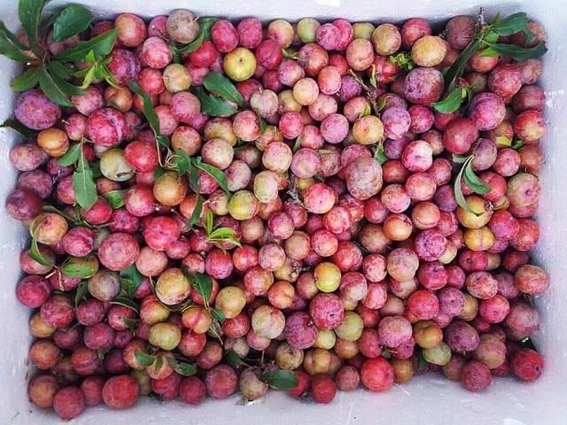 Mận đầu mùa giá chát 300 ngàn đồng/kg, chị em canh mua từng cân - 1