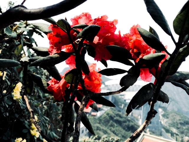 Ngắm những cây đỗ quyên trăm tuổi bung nở rực rỡ trên đỉnh Fansipan - 9