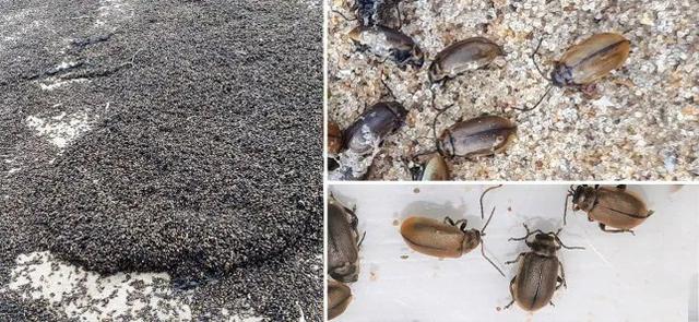 Bí ẩn hàng triệu con bọ phủ kín bãi biển - 1