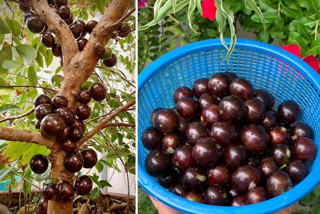 Ngất ngây với vườn cây trái trĩu quả của ca sĩ Mỹ Lệ - 9
