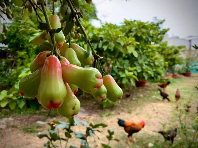 Ngất ngây với vườn cây trái trĩu quả của ca sĩ Mỹ Lệ - 13