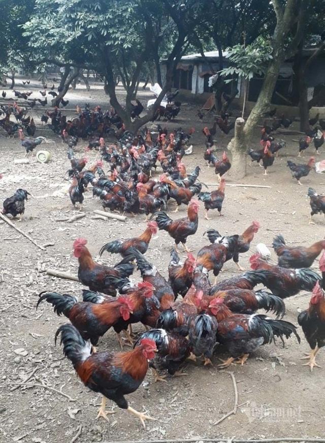 Ế vạn con gà ri, càng nuôi càng lỗ mong chờ giải cứu - 1