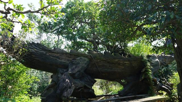 Khu vườn bỏ hoang toàn siêu cây bạc tỷ của đại gia nức tiếng một thời - 3