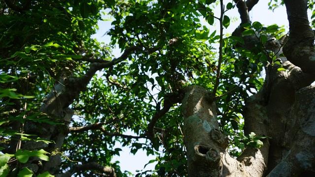 Khu vườn bỏ hoang toàn siêu cây bạc tỷ của đại gia nức tiếng một thời - 6