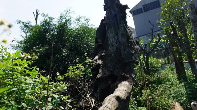 Khu vườn bỏ hoang toàn siêu cây bạc tỷ của đại gia nức tiếng một thời - 7