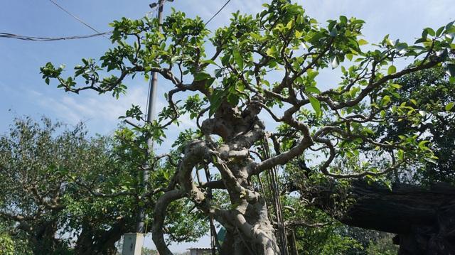 Khu vườn bỏ hoang toàn siêu cây bạc tỷ của đại gia nức tiếng một thời - 12