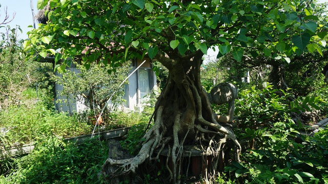 Khu vườn bỏ hoang toàn siêu cây bạc tỷ của đại gia nức tiếng một thời - 17