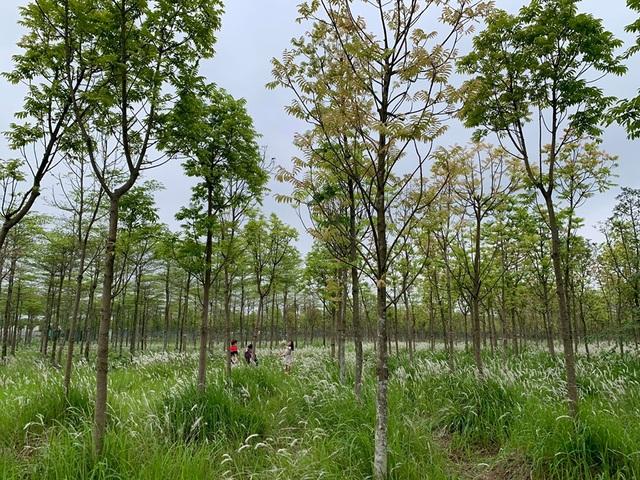 Check-in cánh đồng cỏ tranh đẹp nên thơ ngay phía Đông Hà Nội - 5