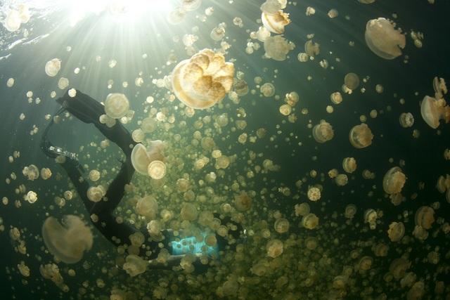 Bí ẩn hồ nước chứa hàng triệu con sứa biển - 2