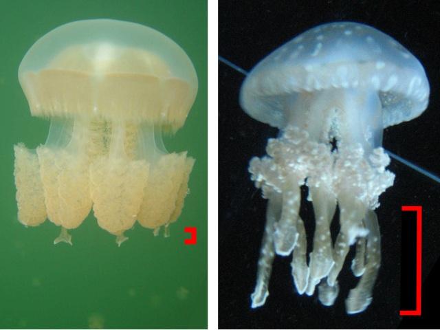 Bí ẩn hồ nước chứa hàng triệu con sứa biển - 3