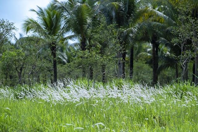 Check-in cánh đồng cỏ tranh đẹp nên thơ ngay phía Đông Hà Nội - 6