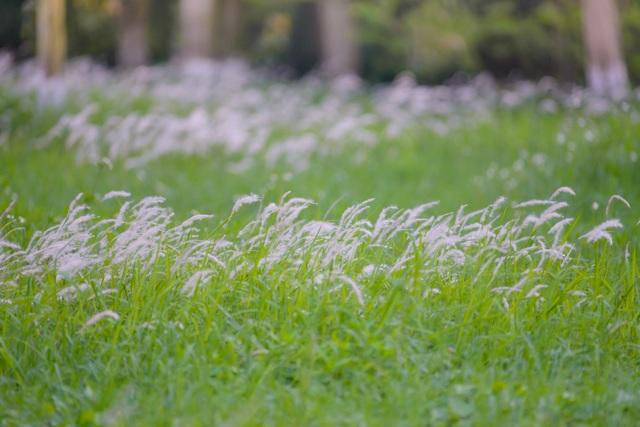 Check-in cánh đồng cỏ tranh đẹp nên thơ ngay phía Đông Hà Nội - 4