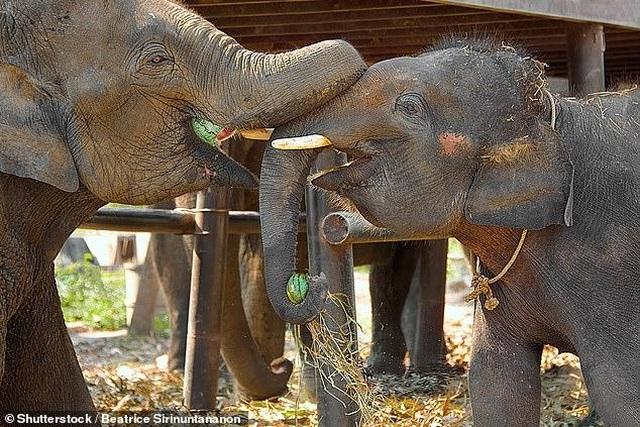 Vì sao voi không uống được rượu? - 1