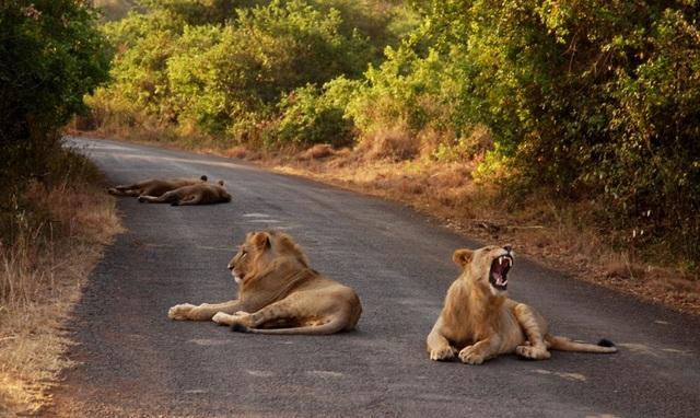 Bầy sư tử cái hợp sức tấn công sư tử đực - 2