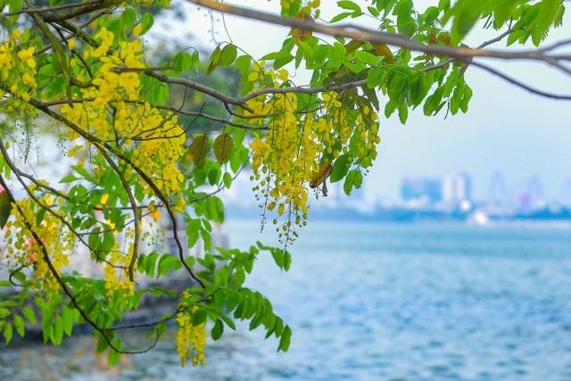 Con đường nhuộm kín sắc hoa muồng hoàng yến, đẹp nên thơ ở Hà Nội - 2