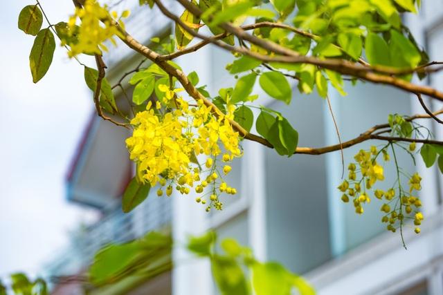 Con đường nhuộm kín sắc hoa muồng hoàng yến, đẹp nên thơ ở Hà Nội - 5