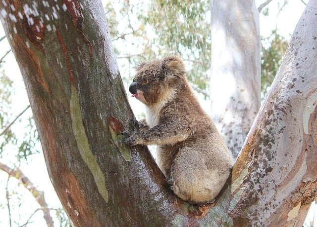 Lần đầu ghi nhận gấu Koala phải uống nước từ thân cây để tồn tại - 2