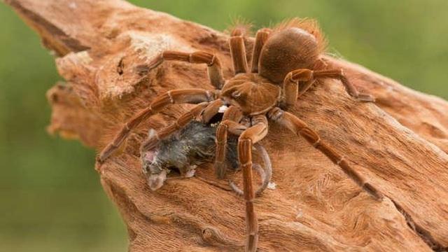 Sở thú New Zealand ấp nở thành công trứng của nhện lông khổng lồ ăn chim - 1