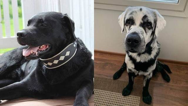 Chú chó nổi tiếng vì từ màu đen tuyền thành khoang đen trắng - 1