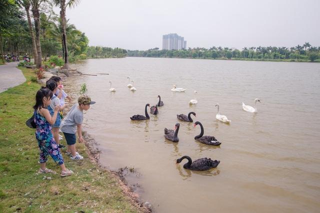 Những đàn thiên nga thân thiện với cư dân trong khu đô thị xanh nhất Hà Nội - 2