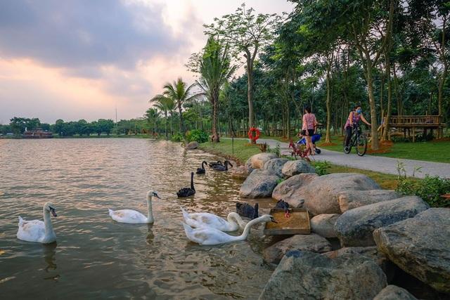 Những đàn thiên nga thân thiện với cư dân trong khu đô thị xanh nhất Hà Nội - 4