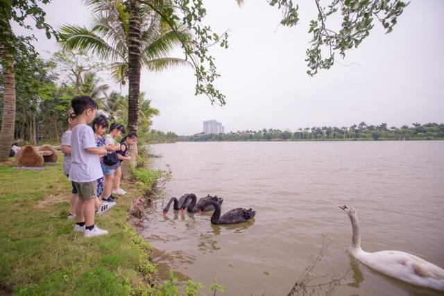 Những đàn thiên nga thân thiện với cư dân trong khu đô thị xanh nhất Hà Nội - 6
