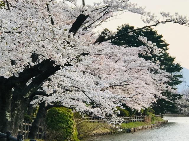Choáng ngợp cảnh sắc hoa anh đào khoe sắc tuyệt đẹp như cổ tích ở Nhật Bản - 4