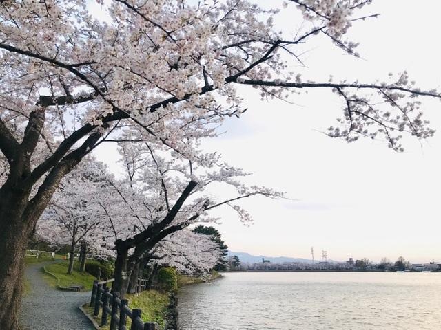 Choáng ngợp cảnh sắc hoa anh đào khoe sắc tuyệt đẹp như cổ tích ở Nhật Bản - 12