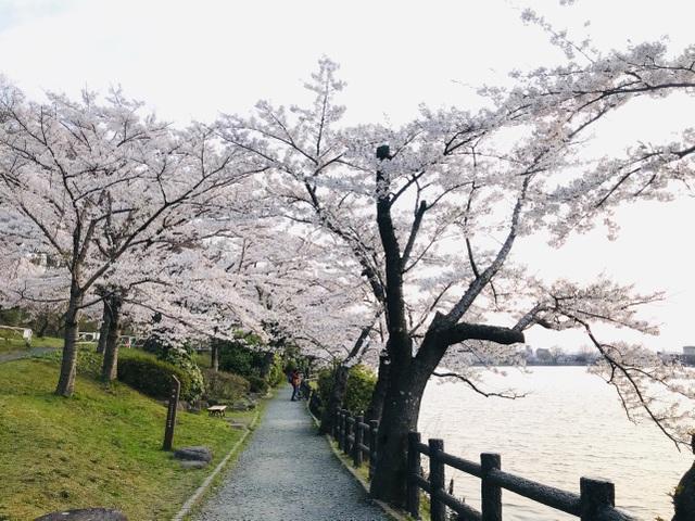 Choáng ngợp cảnh sắc hoa anh đào khoe sắc tuyệt đẹp như cổ tích ở Nhật Bản - 2