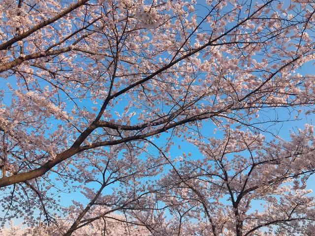 Choáng ngợp cảnh sắc hoa anh đào khoe sắc tuyệt đẹp như cổ tích ở Nhật Bản - 6