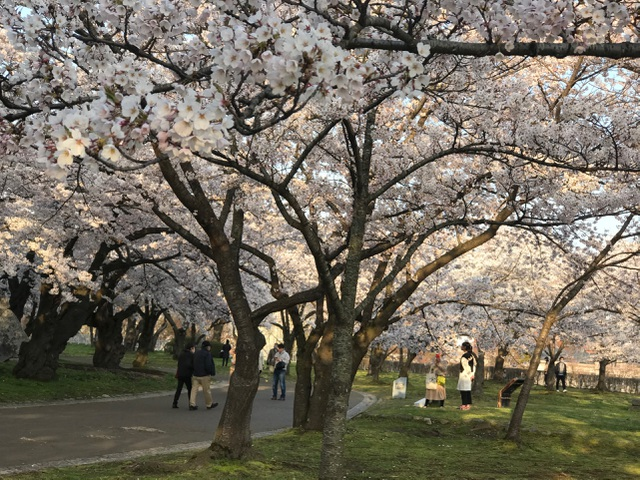 Choáng ngợp cảnh sắc hoa anh đào khoe sắc tuyệt đẹp như cổ tích ở Nhật Bản - 11