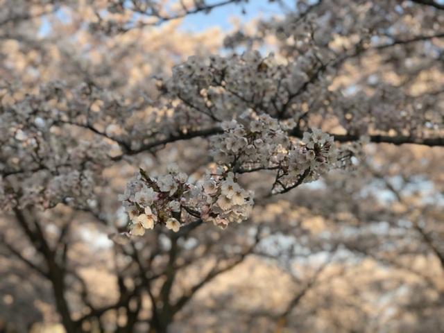 Choáng ngợp cảnh sắc hoa anh đào khoe sắc tuyệt đẹp như cổ tích ở Nhật Bản - 5