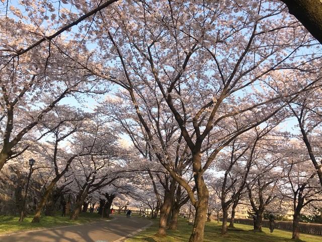 Choáng ngợp cảnh sắc hoa anh đào khoe sắc tuyệt đẹp như cổ tích ở Nhật Bản - 13