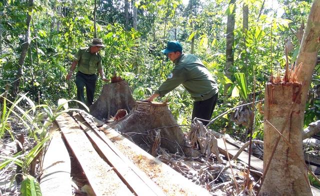 Lâm tặc mở đường vào tàn phá nhiều diện tích rừng phòng hộ tại Phú Yên  - 4