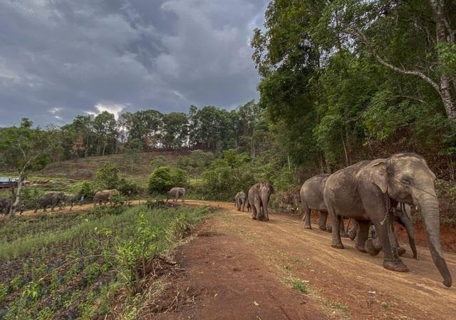 Hàng trăm con voi đi bộ về quê vì thất nghiệp - 2