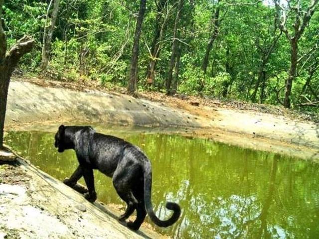 Báo đen hiếm gặp lọt vào máy quay ở khu bảo tồn Goa - Ấn Độ - 1
