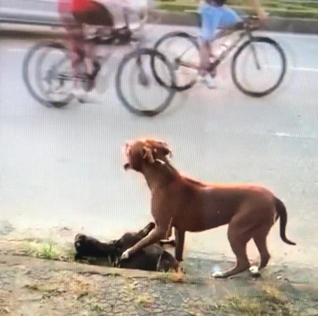 Kinh hoàng chó Pitbull thả rông cắn con dê chết trong vòng chưa đầy 1 phút - 2