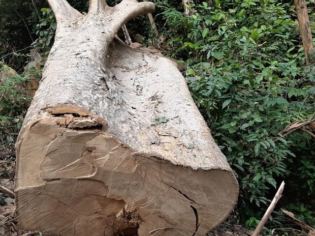 Phối hợp xử lý nghiêm vụ phá rừng pơ mu tại Đắk Lắk - 1