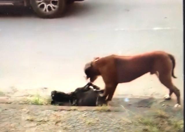 Kinh hoàng chó Pitbull thả rông cắn con dê chết trong vòng chưa đầy 1 phút - 3