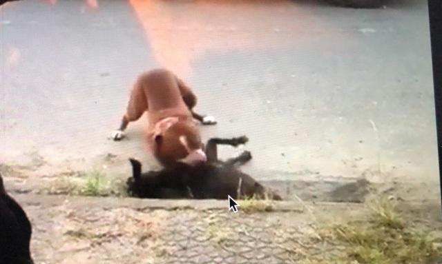 Kinh hoàng chó Pitbull thả rông cắn con dê chết trong vòng chưa đầy 1 phút - 1