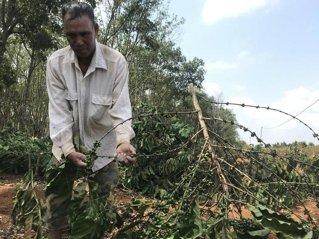 Gần 2.000 cây cà phê bị chặt phá trong đêm - 2