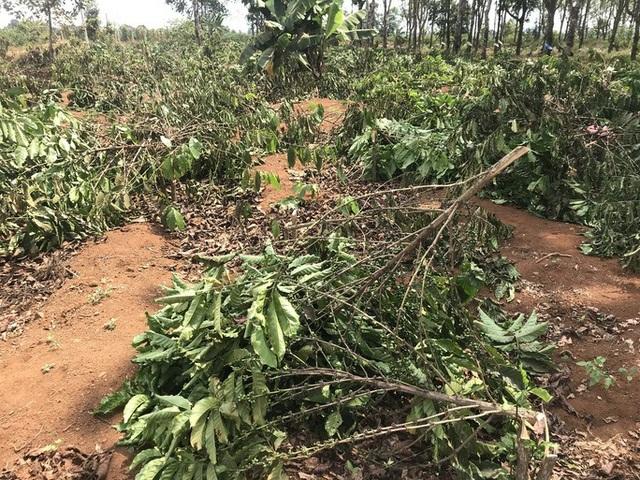 Gần 2.000 cây cà phê bị chặt phá trong đêm - 1