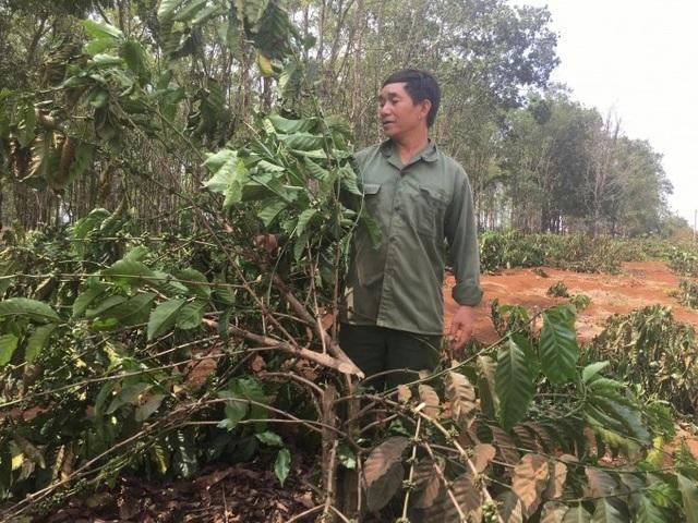 Gần 2.000 cây cà phê bị chặt phá trong đêm - 3