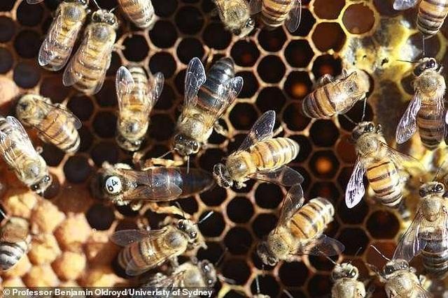Giải mã bí ẩn sinh học của ong mật Nam Phi - 1