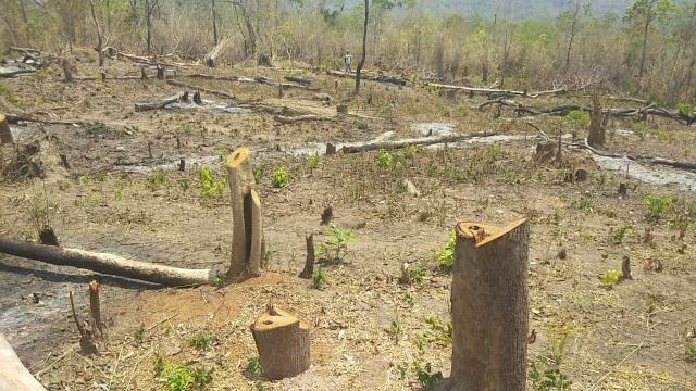 """Những khoảnh rừng bị """"cạo trọc"""" trong vùng giáp ranh Ia Pa tại Gia Lai - 3"""