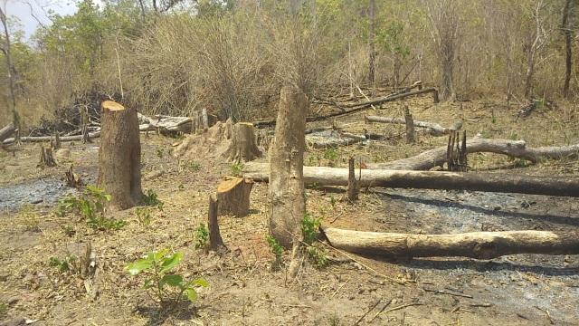 """Những khoảnh rừng bị """"cạo trọc"""" trong vùng giáp ranh Ia Pa tại Gia Lai - 4"""