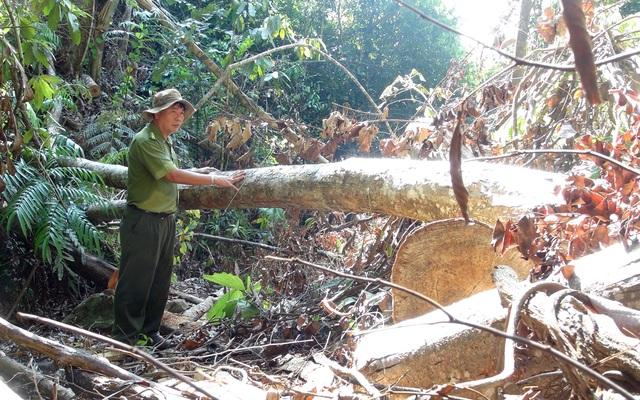 """Vụ """"lâm tặc"""" mở đường phá rừng ở Phú Yên: La liệt gỗ bị bỏ lại hiện trường! - 2"""