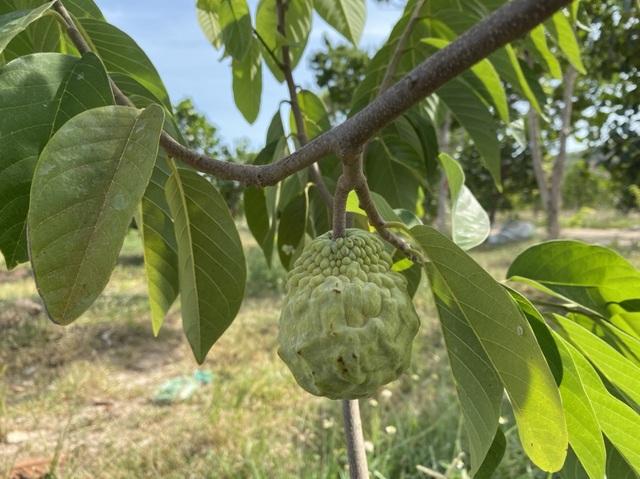 Choáng với dàn trái cây ngoại 'chỉ trời Tây mới có' được trồng hữu cơ tại Bình Thuận - 5