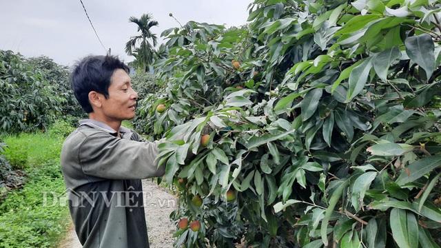 Quảng Ninh: Bội thu vải chín sớm, thương lái kéo về mua nườm nượp, nông dân thu tiền tỷ - 6