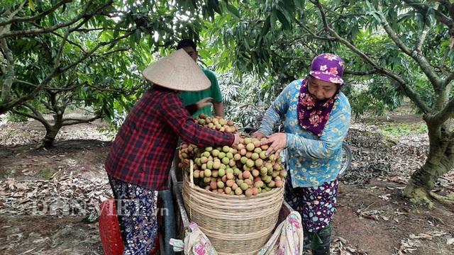 Quảng Ninh: Bội thu vải chín sớm, thương lái kéo về mua nườm nượp, nông dân thu tiền tỷ - 7